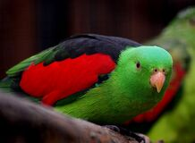 Crisom winged parrot. Royalty Free Stock Photos