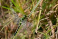 Crisopa verde di cibo della libellula fotografia stock libera da diritti