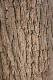 Crisp. Macro image of crisp on walnut tree Stock Images