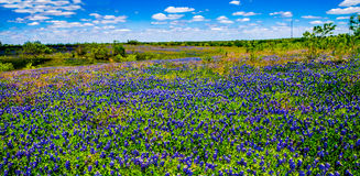 A Crisp Big Beautiful Colorful Panoramic High Def Wide Angle View of a Texas Field Blanketed with the Famous Texas Bluebonnets. Stock Images