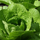 Crisp green lettuce. Growing in the garden Royalty Free Stock Image