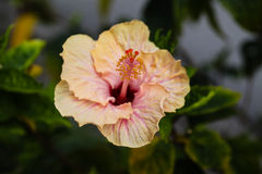 Crisp Hibiscus Stock Photography