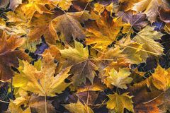 Crisp icy fallen autumn leaves. Abstract of fallen autumn leaves on ground icy Stock Photo