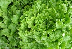 Crisp lettuce background stock images
