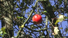 Crisp red apple on a branch stock video