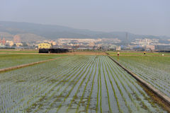 Crisp rice fields Royalty Free Stock Photos