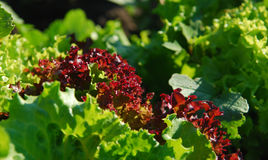 Crisp vitamins Royalty Free Stock Images