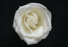 Crisp white rose flower on black. Crisp white flower on black matt background Royalty Free Stock Photography