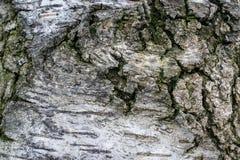 Crispa de Betula Pendula del abedul de Cutleaf que llora Imágenes de archivo libres de regalías