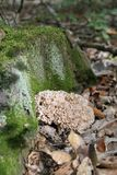 Crispa Sparassis цветной капусты грибное на стволе дерева бука f стоковая фотография