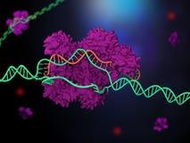 CRISPR-Cas9 免版税库存照片