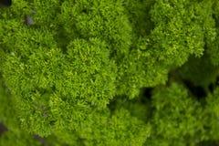 Crispum de petrosélinum, persil photographie stock libre de droits