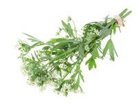 Crispum del Petroselinum del ramo en aislado Fotos de archivo