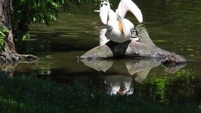 Crispus dálmata del Pelícano-Pelecanus almacen de video