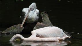 Crispus-pesca dálmata del Pelícano-Pelecanus en el lago