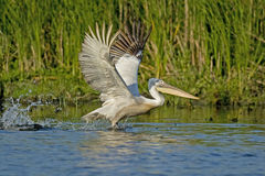 Crispy or Dalmatian Pelican taking off Stock Image