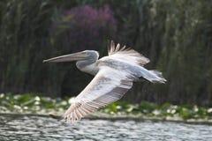 Crispy eller Dalmatian pelikan Arkivbilder