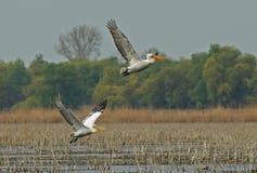 Crispy eller Dalmatian pelikan Fotografering för Bildbyråer