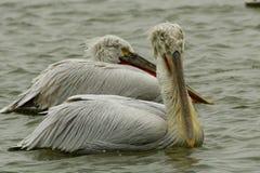 Crispy eller Dalmatian pelikan i vinter Royaltyfria Foton