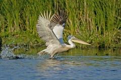 Crispy eller Dalmatian pelikan som tar av Fotografering för Bildbyråer