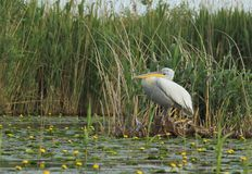 Crispy eller Dalmatian vila för pelikan Arkivfoto
