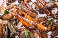 Crispy fried insects, grub larvae, Grasshopper, CRICKET Royalty Free Stock Photos