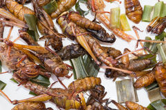 Crispy fried insects, grub larvae, Grasshopper, CRICKET Stock Image
