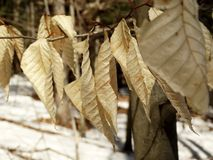 Crispy leaves. A branch of dead curled leaves shiver in the winter wind among the forest trees Royalty Free Stock Images