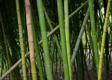 Criss-cross pattern of bamboo grove in San Diego, California Royalty Free Stock Images