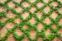 Criss-crossing Vines. Photograph of some vines trained to grow along a criss-crossing trellis against a brick wall stock photography