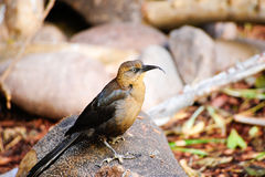 Crissal Thrasher. A crissal thrasher posing on a rock Stock Images