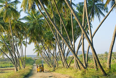Crisscross Coconut palms and narrow pathway. Grown up Coconut palms in crisscross patterns, narrow pathway and plying auto rickshaw in a village- Cocos nucifera stock image
