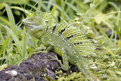 Crista jesus lizard Royalty Free Stock Images