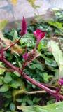 A crista, lãs chinesas floresce, argentea do Celosia Fotos de Stock Royalty Free