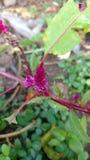 A crista, lãs chinesas floresce, argentea do Celosia Fotos de Stock