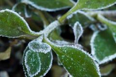 Cristales de Frost en las hojas verdes Fotografía de archivo libre de regalías