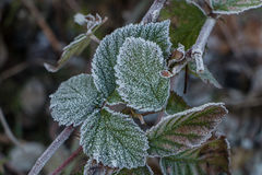 Cristales de hielo en las hojas de la frambuesa Fotos de archivo libres de regalías