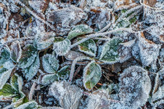 Cristales de hielo en las hojas de la fresa Fotos de archivo libres de regalías