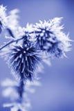Cristalli di ghiaccio di gelo sul cardo selvatico Weed Fotografia Stock Libera da Diritti