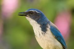 Cristata américain de Cyanocitta d'oiseau de geai bleu image libre de droits
