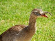 Cristata brasileño del Cariama del pájaro Foto de archivo libre de regalías