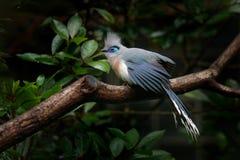 Cristata crestato di Coua, di Couna, uccello grigio e blu raro con la cresta, nell'habitat della natura Couca che si siede sul ra fotografie stock
