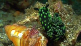 Cristata de Nembrotha con el nudibranch del cangrejo de ermitaño metrajes