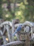 Cristata del Cyanocitta del arrendajo azul Fotografía de archivo