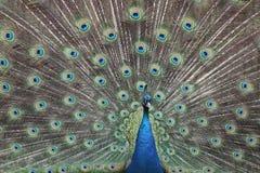 cristatus男性孔雀座phasianidae传播尾标 库存照片