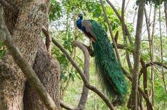 Cristatus павлина Индии или Pavo на дереве Стоковые Изображения RF