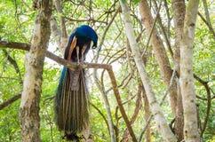 Cristatus павлина Индии или Pavo на дереве Стоковое Изображение