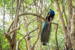 Cristatus павлина Индии или Pavo на дереве Стоковое Изображение RF