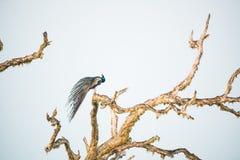 Cristatus павлина или Pavo сидит на дереве Стоковое Фото