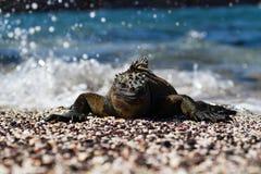 Cristatus de Galápagos Marine Iguana Amblyrhynchus em expor-se ao sol em uma praia, Ilhas Galápagos foto de stock